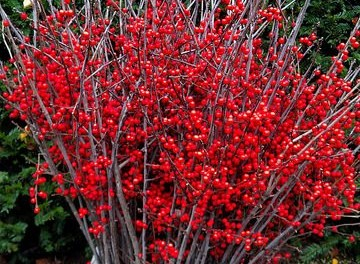 Red Ilex, Winterberry