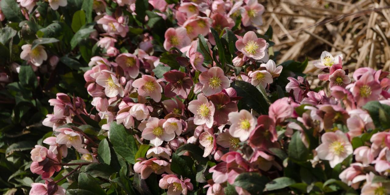 Hellabores Blooming