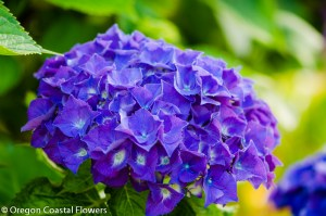 purple oregon pride hydrangea black stems