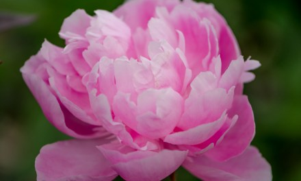 Premium Peony Wholesale Flowers for Mother's Day 5.06.18
