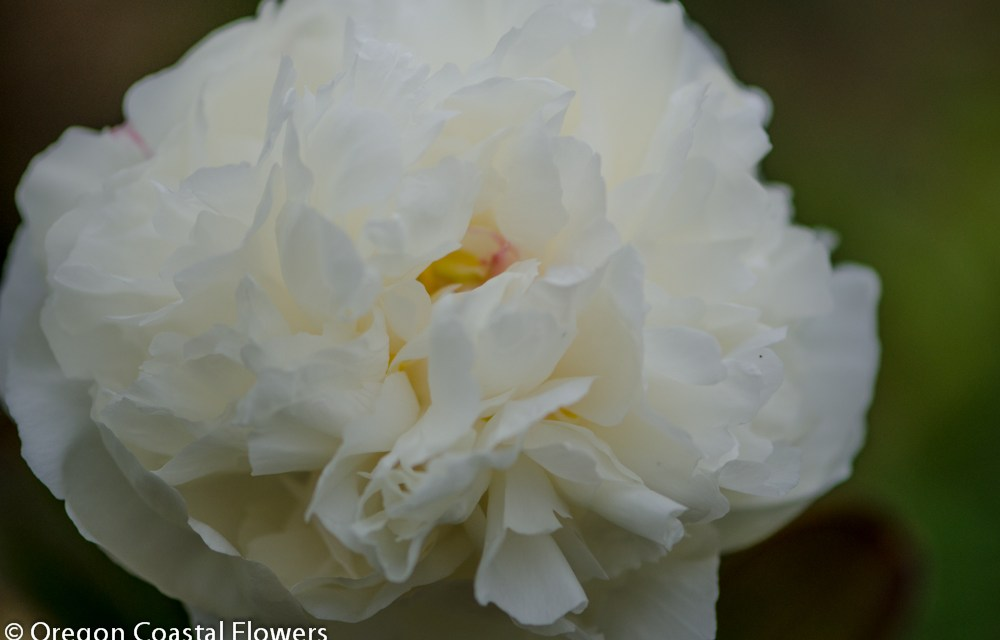 We specialize in Double White Peonies for your Wedding or Special Event 5.30.17