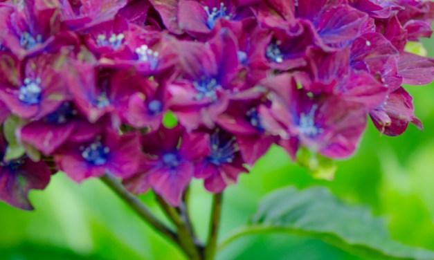Tri-Color Pistacio Hydrangeas, red and green 8.24.17