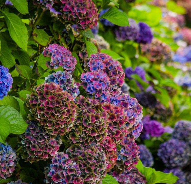 World Famous Antique Hydrangea in Jewel Tone Colors 8.14.17