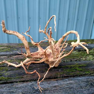 spider root large