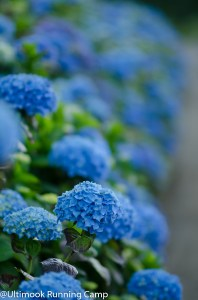 wedding hydrangea ranch (2)