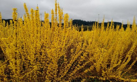 12.28.20 Book your Chinese New Year Forsythia & Quince Branches today.