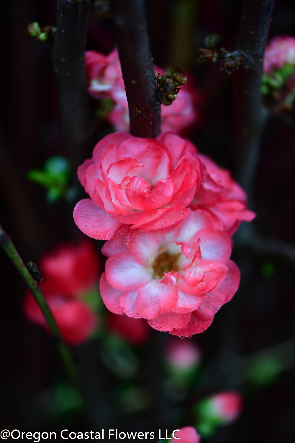 Chinese New Year Branches Oregon Coastal Flowers