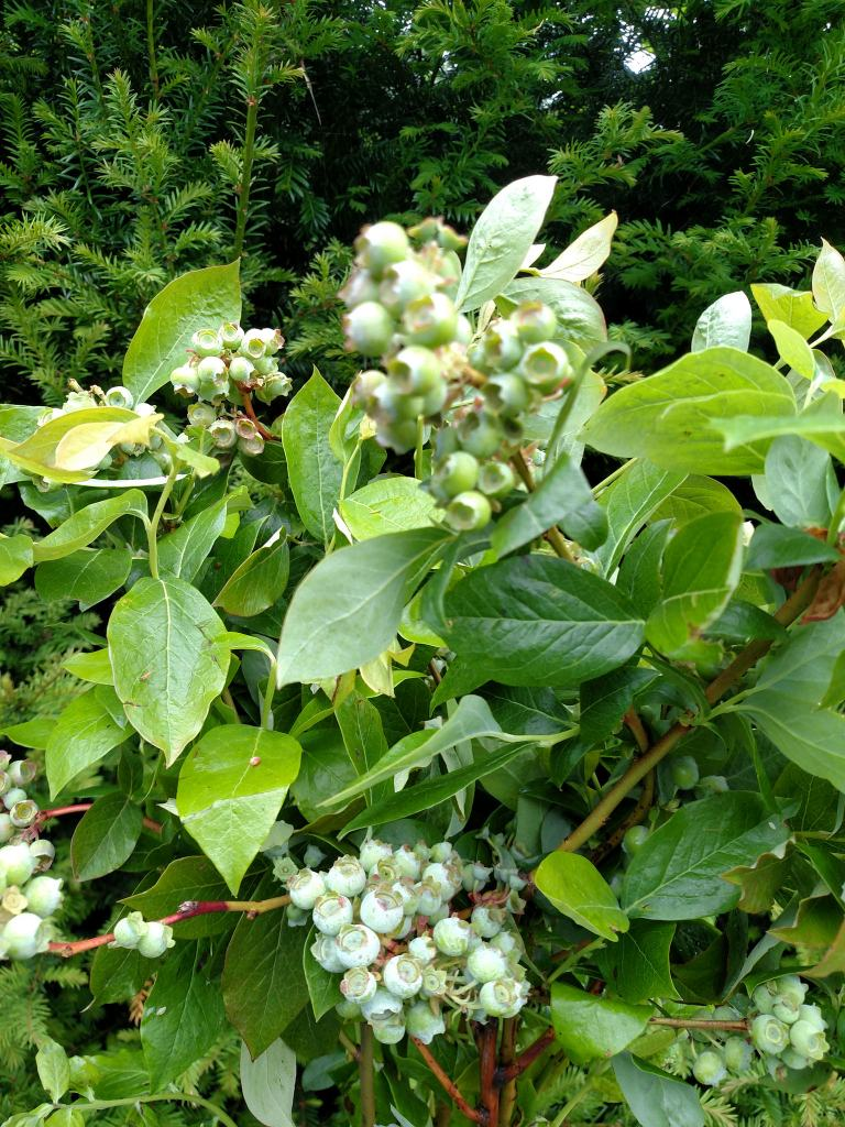 Fruiting Blueberry Branches For Flower Arrangements 8 03 17