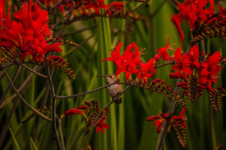 Montretia Lucifer Crocosmia Fresh Cut Flowers & Montbretia Pods 7.20.17