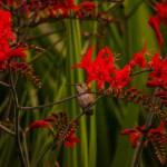 montbretia lucifer fresh cut flowers and montbretia pods