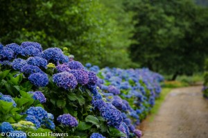 oregon coastal flowers hydrangea blue, purple, white, lavender, green, antique, and more hydrangea colors.
