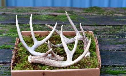 Shed Antlers to be used in Floral Trade 3.13.17