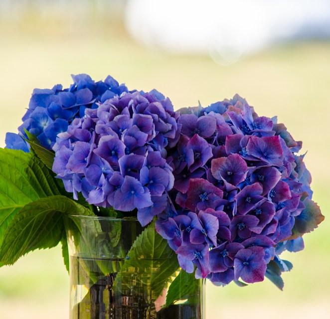 7.19.18 Lavender Hydrangeas & Oregon Coast Wedding Venue