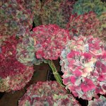 antique hydrangea with pink and blue