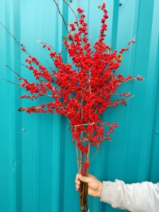 12.12.18 Red Ilex Winter Berries dripping with red holiday berries.