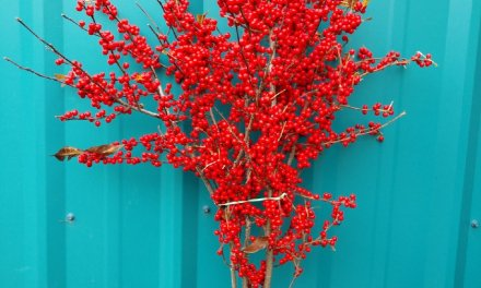 11.22.20 Red Ilex Berries & Winter Berry for the Christmas Holiday