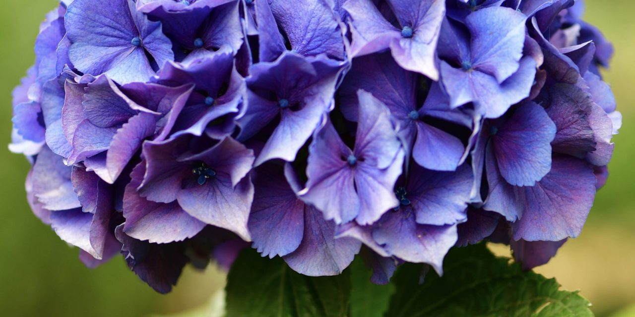 6.27.19 Dark Purple Hydrangea to be used for wedding bouquets.  Oregon Pride Hydrangea has black stems with vivid purple blossoms.