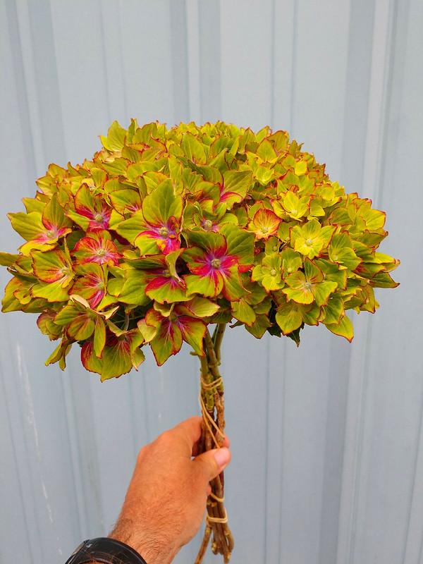 Dark Pink Hydrangea Flowers