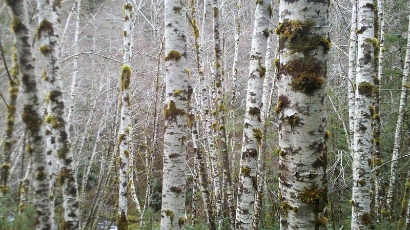 10.22.20 Birch Poles from Oregon Coast