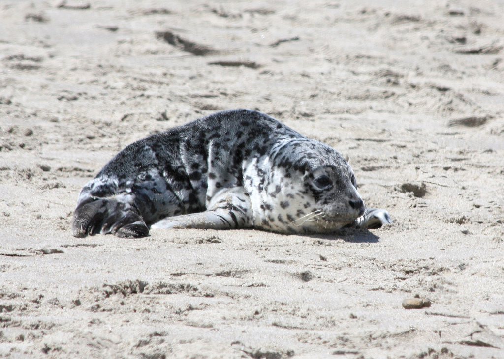 harbor_seal_pup_munsel