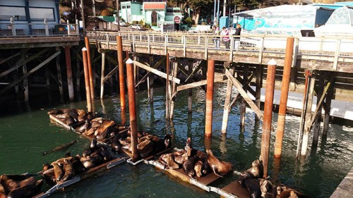 The effort to restore the Newport sea lion docks is nearly complete. The final phase, building a 75-foot long viewing platform adjacent to Port Dock 1 will put visitors even closer to the popular mammals. (Photo by Larry Coonrod)