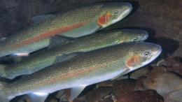 Hatchery Wild Fish