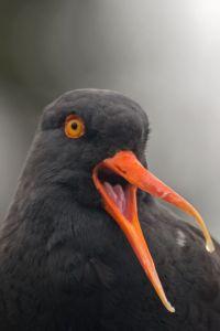 Oyster catcher - International Migratory Bird Day