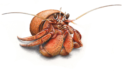 Hairy Hermit Crab (Pagurus hirsutiusculus), by Catherine Alexander