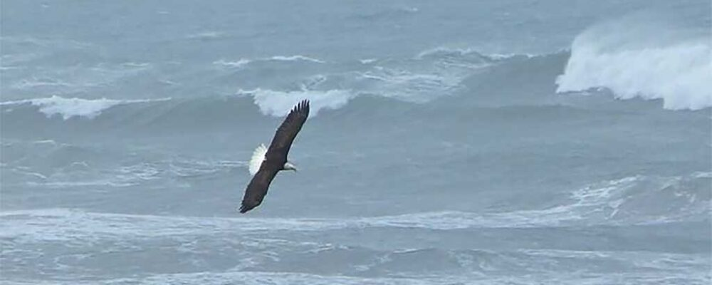 Eagle over the ocean - Land's End Beach House