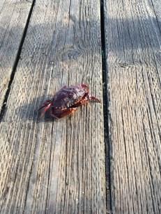 Red Rock Crab in Newport