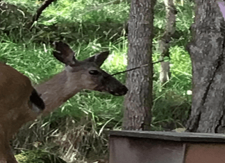 Roseburg deer shot with arrow July 2018 Oregon Douglas County
