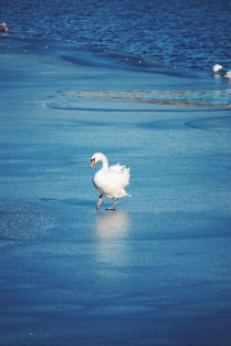 Swans on the Sotterdams Sø when it was somewhat frozen last month