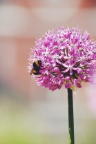 Allium love
