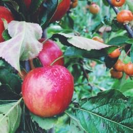 Danish apples to pick yourself