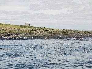 Grey seal Farne Islands Northumberland UK Seabirds