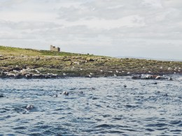 Grey seal Farne Islands Northumberland UK Seabirds
