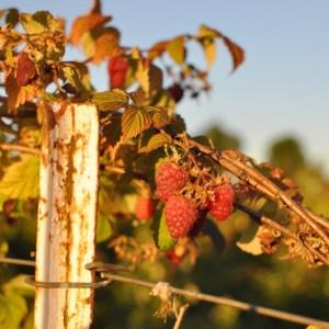 Kruger's Farm berry picking, Sauvie Island, Portland Oregon summer | Oregon Girl Around the World