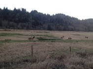 Even got to see some elk at the Dean Creek Elk Viewing Area. Of course in Sweden 'elk' are moose.