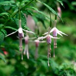 love the delicate form this Fuchsia adds to the garden