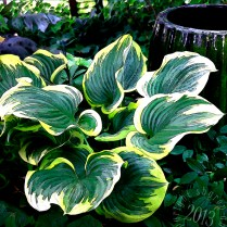 Giant hosta leaves with pot stylized
