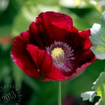 more red than burgundy when the light shines thru the petals