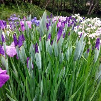 Mt Pleasant Iris Farm _17_1