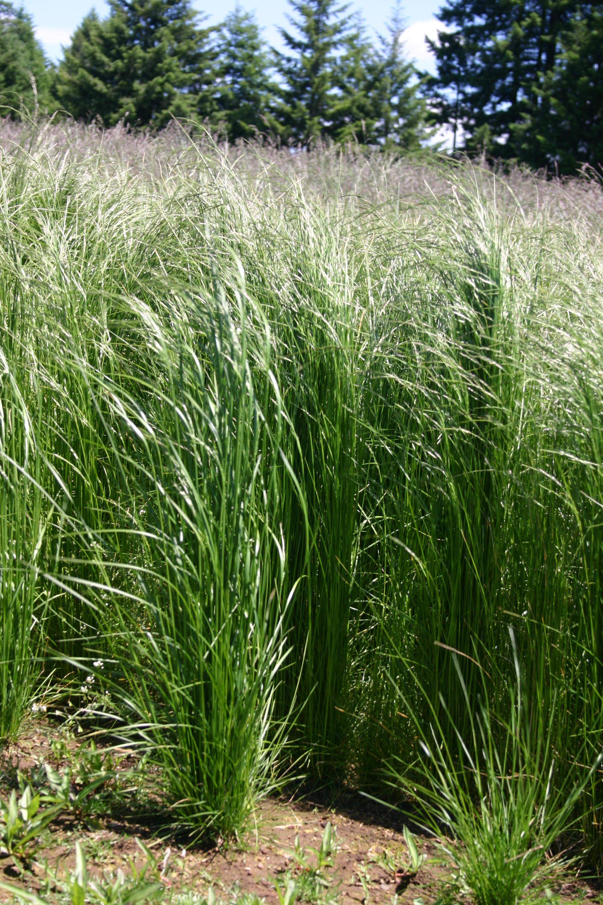 Northwest Grassland Economy Mix Oregon Wholesale Seed