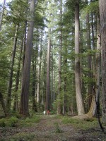 Best old growth forest hikes: Interactive Old Growth Maps Oregon Wild
