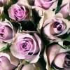 20-lavender-roses
