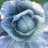 fresh-cabbage
