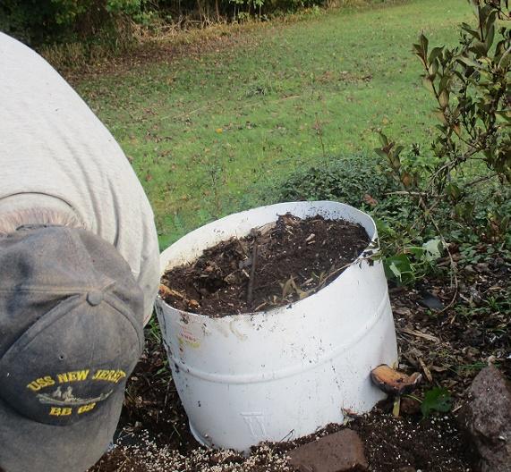 half barrels to grow sweet pototoes