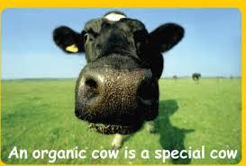 organic cow