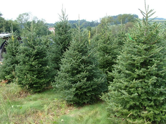 so lets learn some important informative about the different kinds of christmas so you can make the right choice for your family and home - Different Kinds Of Christmas Trees