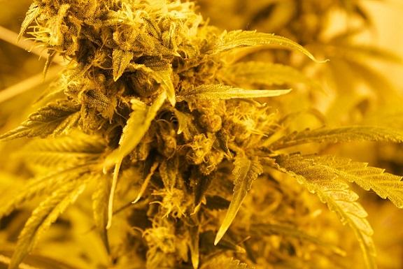 cannabis strain indical